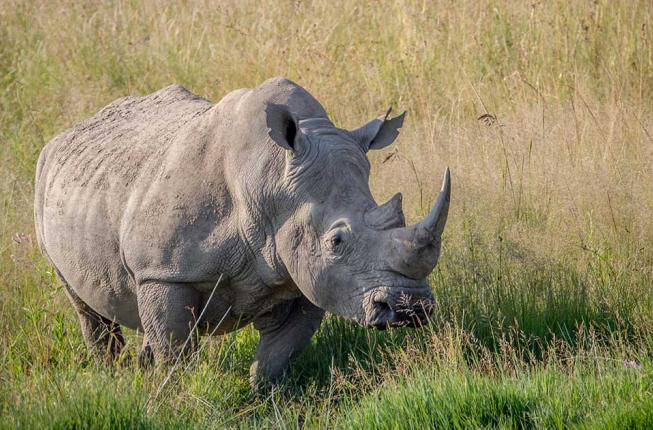 Collegamento a Research developments and the race against time to save the northern white rhino