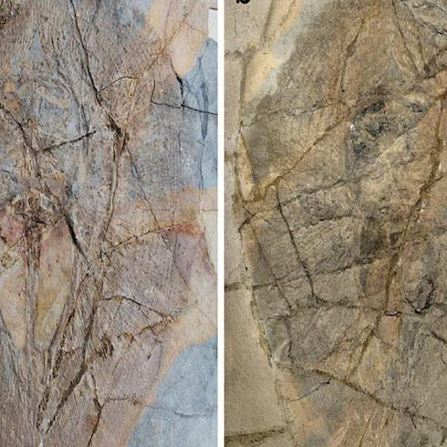 From the museum, a new race of myliobatiform is found in fossils