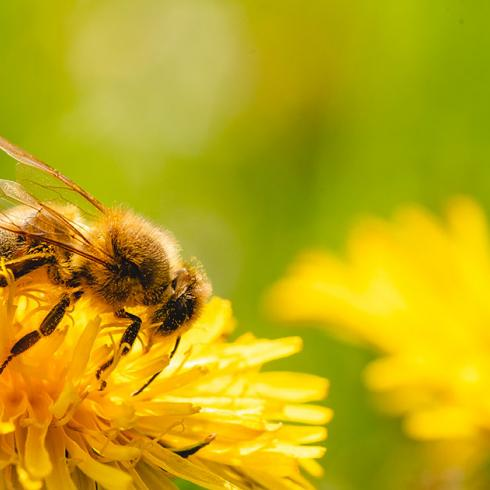 Solitary bees, a resource for agriculture and landscape