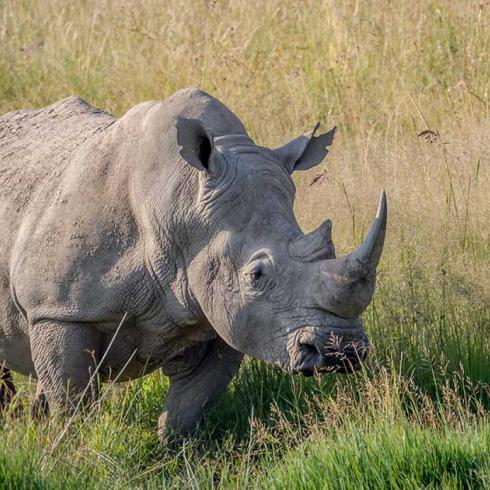 Research developments and the race against time to save the northern white rhino
