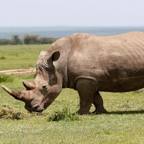 Saving the northern white rhino through in vitro fertilization